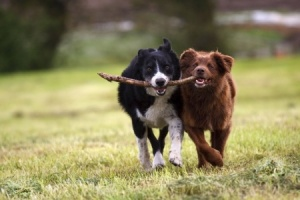 These two dogs are soft in their expressions; likely they found this stick and now they are matching one another stride for stride as they play with it.  Copyright: gbphoto21 / 123RF Stock Photo