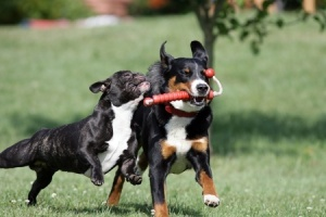 This interaction is about control not fun.  The faster dog has the toy and now the stronger dog is morphing into a nasty dog, inhibiting his bite, but none the less, pushing to get the toy.  This picture is likely taken on the way back from a retrieve.  Copyright: djakob / 123RF Stock Photo