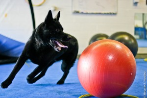 Eco playing treibball.  This level of accuracy, precision and reliability was the result of three years of foundations.  Notice that he is looking ahead, off camera for my information so that we can work together.  This, like exercising doesn't happen by jumping ahead and skipping steps in training.  This happens when the dog and trainer work together in a step wise fashion to develop great skills and reliable communication.  Photo Credit:  Melanie Wooley