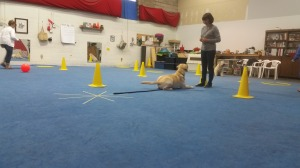 Here is a nice example of a dog and handler who are engaged and absorbed with one another.  They can both do things in class because they share a connection and a relationship, so they are ready to work together.  Photo copyright Sue Alexander 2015.
