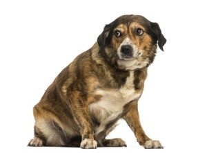 If your dog is looking like this, he or she is uncomfortable!  You can see that this dog is sitting off balance, and his ears are pulld back a bit and you can see the whites of his eyes.  He looks like he is crouching avoidantly.  Don't abandon a canine family member when they look like this.  Take them to a safe space and stay with them to help them to relax and be comfortable.  Copyright:  / 123RF Stock Photo