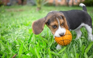 Young animals are very flexible in their learning and this gives us an opportunity to teach them to enjoy games that they might not learn to like if they first tried them as adults.  This beagle will play fetch with his ball and doing so often will help him to learn that it is a fun game.  Later you can use fetch as a reinforcer for him.  Copyright: lunja / 123RF Stock Photo