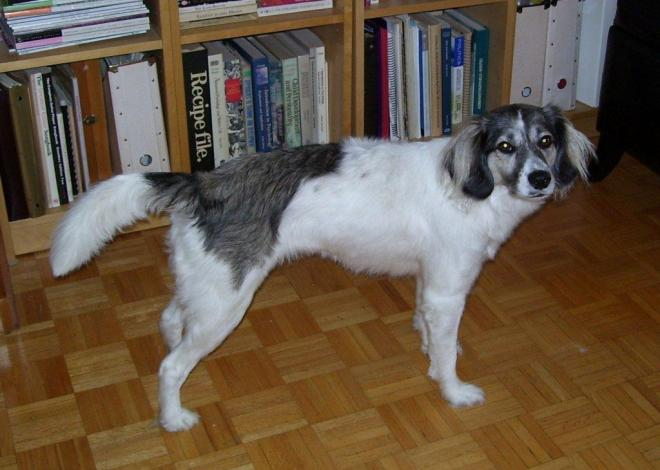 This dog is typical of the village dogs found in middle to northern Ontario.  Her structure and coat allow her to be a very successful scavenger.  After she was removed from her feral existence, she struggled initially with apartment living, but went on to be a successful companion.  This type of behavioural flexibility is quite typical of village dogs.