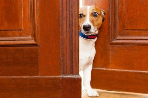 This dog looks ready to bolt out the door!  This might be a dog who has been taught to sit at the door when told, but not to stop when a door is open.  Copyright: damedeeso / 123RF Stock Photo