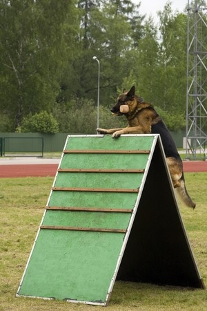 German Shepherds are the breed that I prefer.  Before purchasing my last puppy, I met both of his parents and observed them doing activities like this.  If they could not successfully clear a wall such as this one, I would not expect that they would produce puppies who could do that either.  Know what you want from a dog, and select parents that meet those criteria and when they are bred they will produce puppies that will also fulfill those criteria!  Copyright: mazurik / 123RF Stock Photo