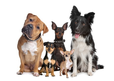 If you live with a dog who is reactive to other dogs, which of these dogs would set him off?  Do you notice that the small dog in front has a lifted paw?  This may be a sign that he finds being in that group of dogs stressful and overwhelming!  Copyright: eriklam / 123RF Stock Photo
