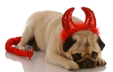 5555247 - pug dressed up as a devil with guilty expression