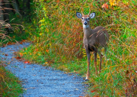 23017242 - whitetail deer spike buck standing on the edge of a nature trail.