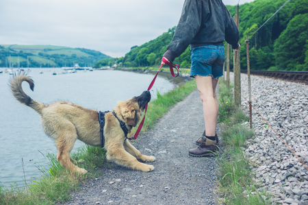 59856127 - a naughty dog is pulling on his leash and almost falling into a lake