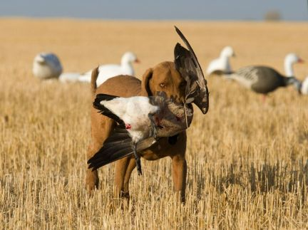 14438710 - dog retrieving a canada goose