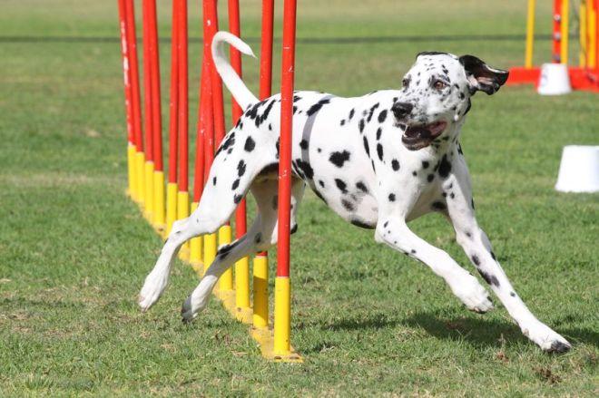 4977815 - dog agility 6