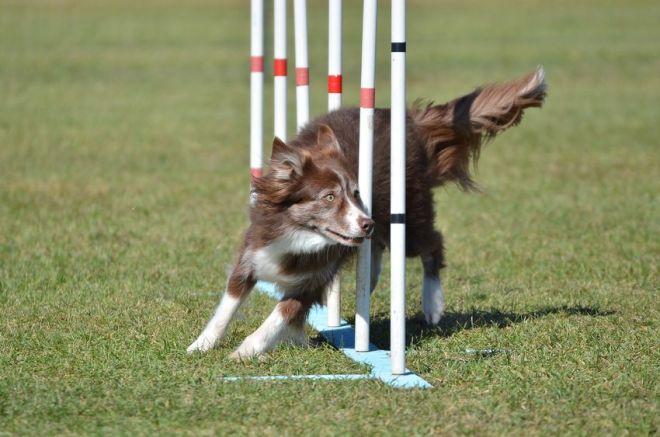 54380485 - border collie weaving through poles at a dog agility trial