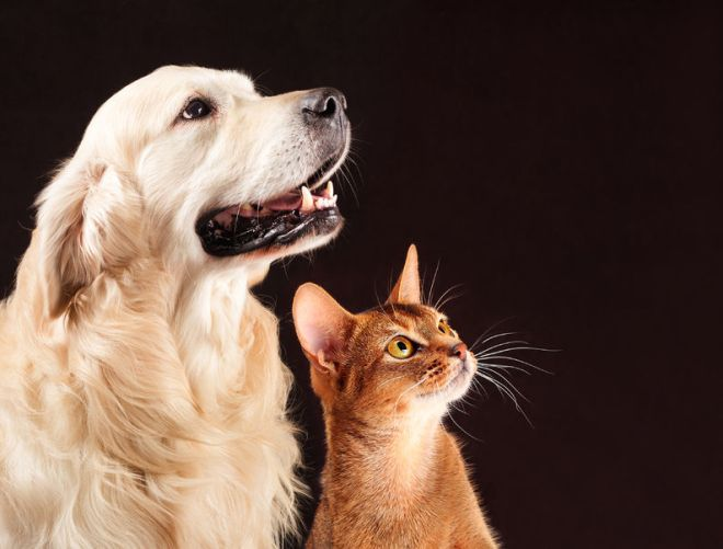 63553113 - cat and dog, abyssinian kitten and golden retriever looks at right.