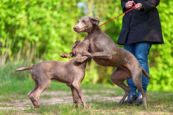 79736599 - woman with a weimaraner dog at the leash who plays with a puppy