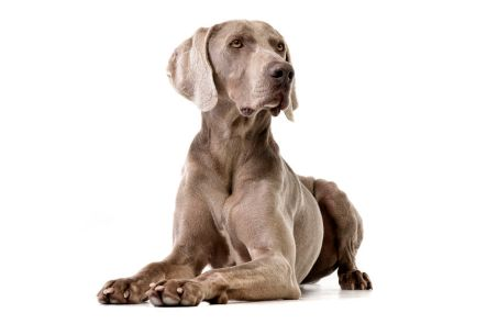 77766871 - studio shot of an adorable weimaraner lying on white background.