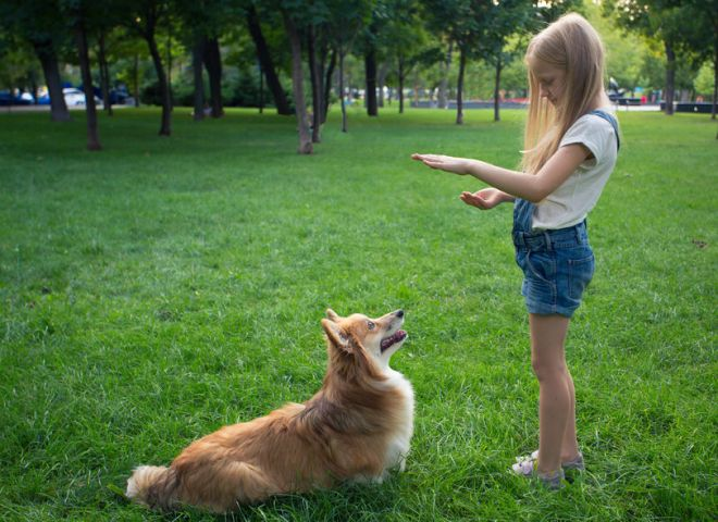 84358253 - little girl training a corgi dog at the park