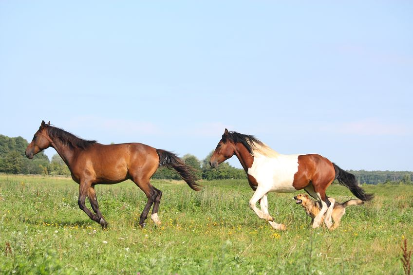 18590460 - two horses running at the pasture with dogs in summer