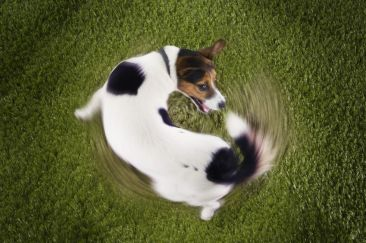 18897011 - jack russell terrier chasing tail view from above