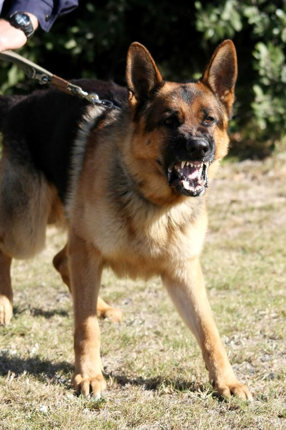3555935 - a vicious police dog baring it's teeth and barking