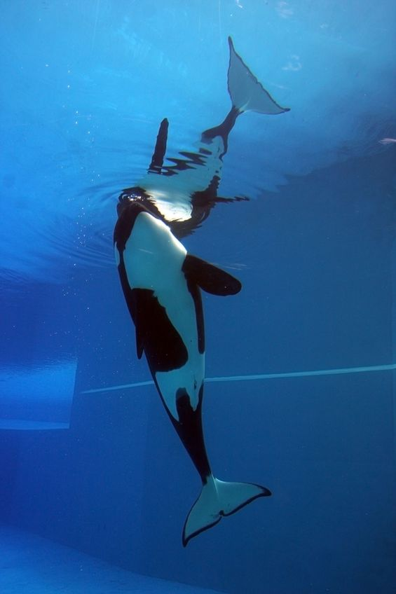 5615966 - orca playing in a pool of blue water
