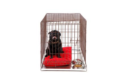 Dog in cage. Isolated background. Happy black pug in iron box