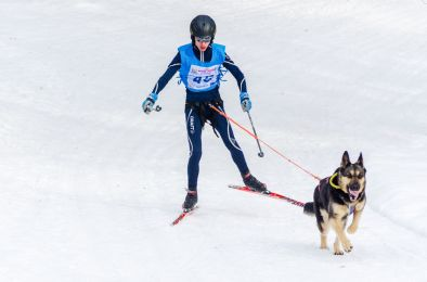 Reshetiha, Nizhniy Novgorod Oblast, Russia - 02.25.2017 - Siberian Husky sled dog race skijoring competition. Skier man skiing with Husky dog in harness.