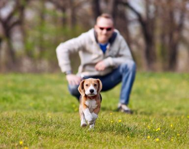 19204095 - running beagle puppy with his master on the walk