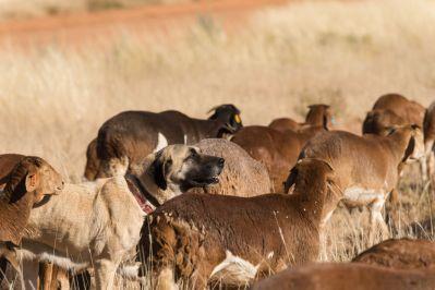 Livestock guarding dog