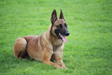 90333638 - a belgian malinois sheepdog lying in the grass he does not move