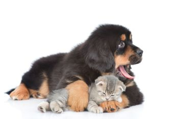 Yawning tibetan mastiff puppy embracing sleeping tabby kitten an