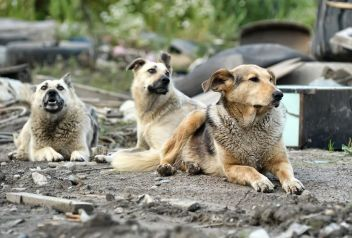 15000085 - pack of stray dogs