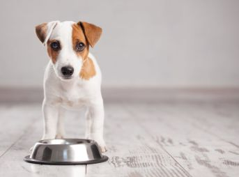 61549135 - puppy eating food. dog eats food from bowl