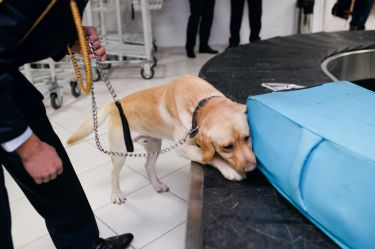 Drug detection labrador dog at the airport searching drugs in the luggages. Horizontal view